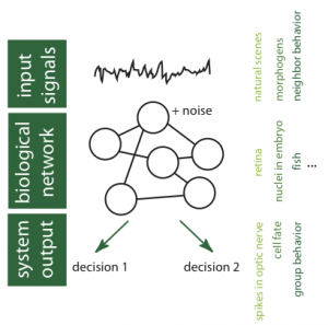 Schematic diagram of information processing in biological networks showing our main areas of study: statistics of input signals, noise and computation in network elements, network achitecture, network readout. Some biological examples shown on the right.